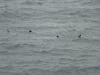 oisgill-baybasking-sharks-20130826