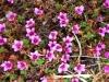 purple-saxifrage