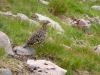 ptarmigan-female