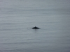 minke-whale-neist2